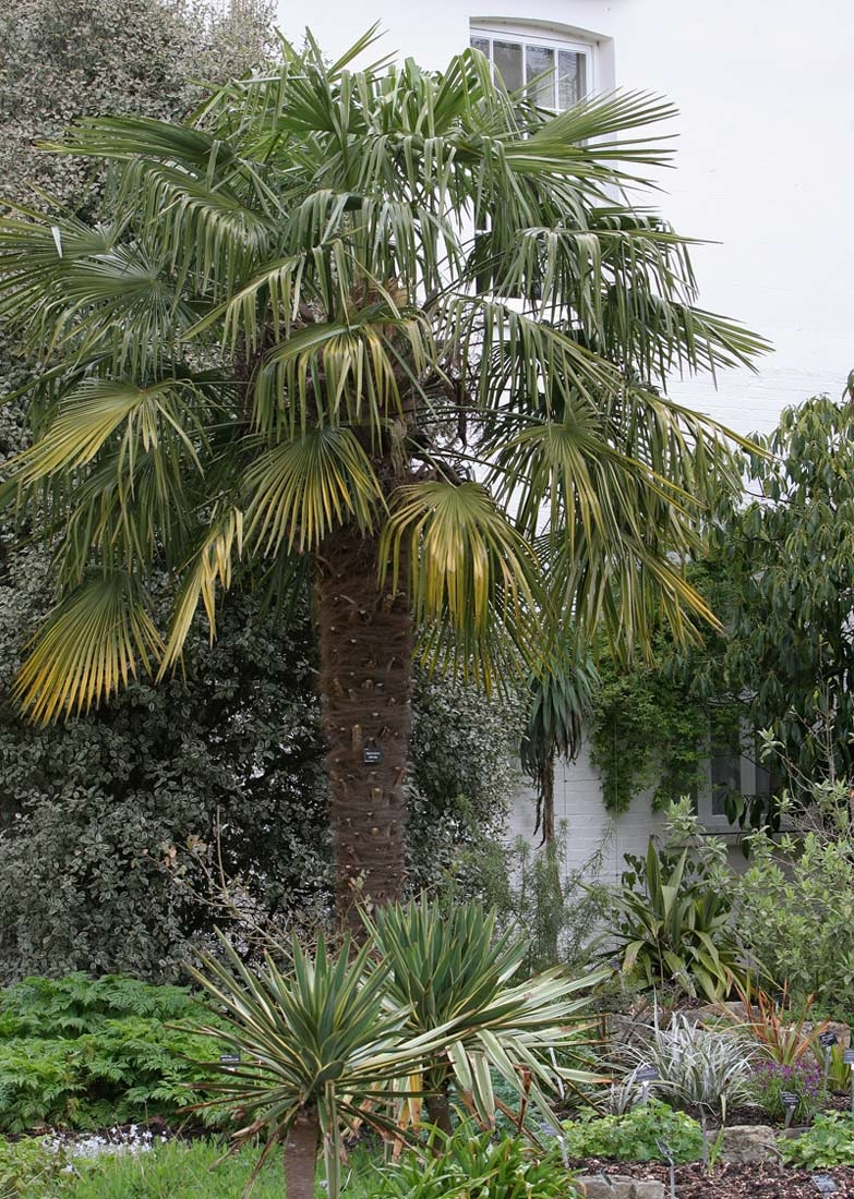Mature Trachycarpus fortunei in a parkland environment