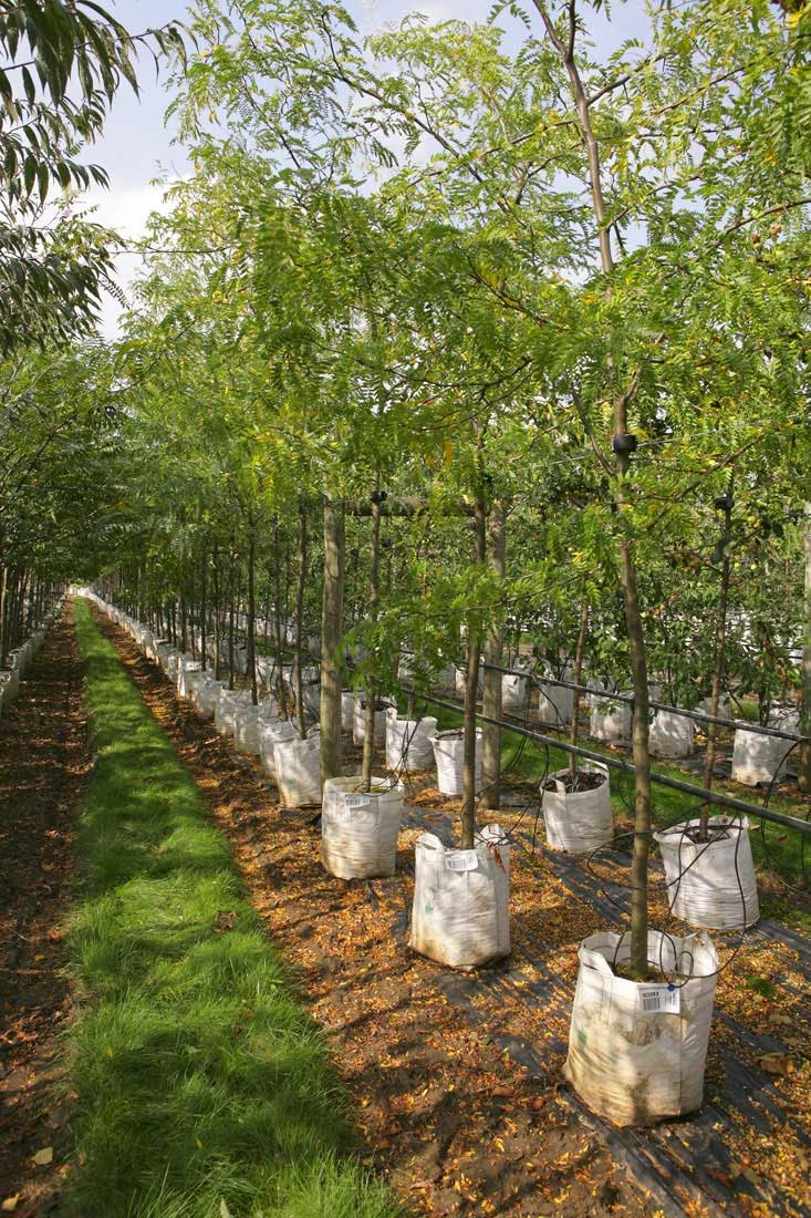 Gleditsia triacanthos at barcham trees