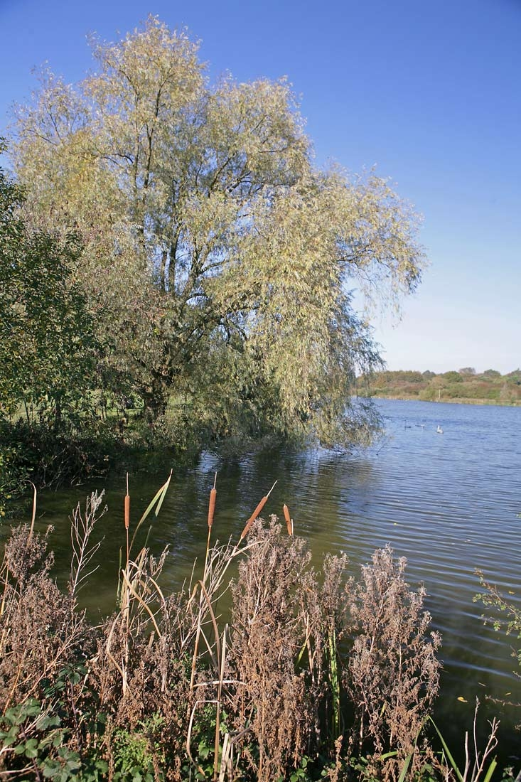 Mature Salix alba on a riverside location