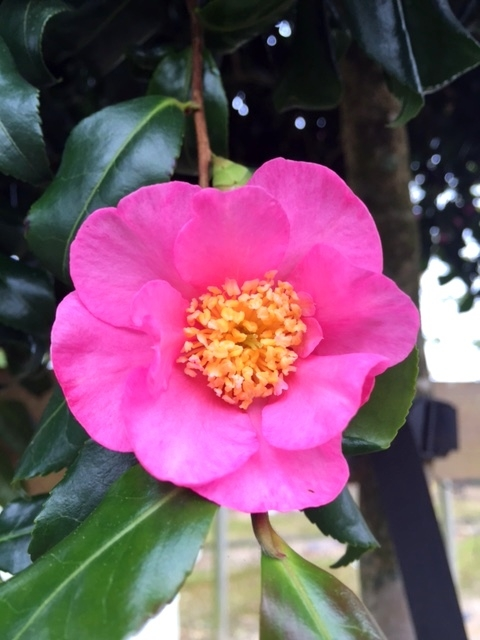 The beautiful flower of Camellia sasanqua Cleopatra