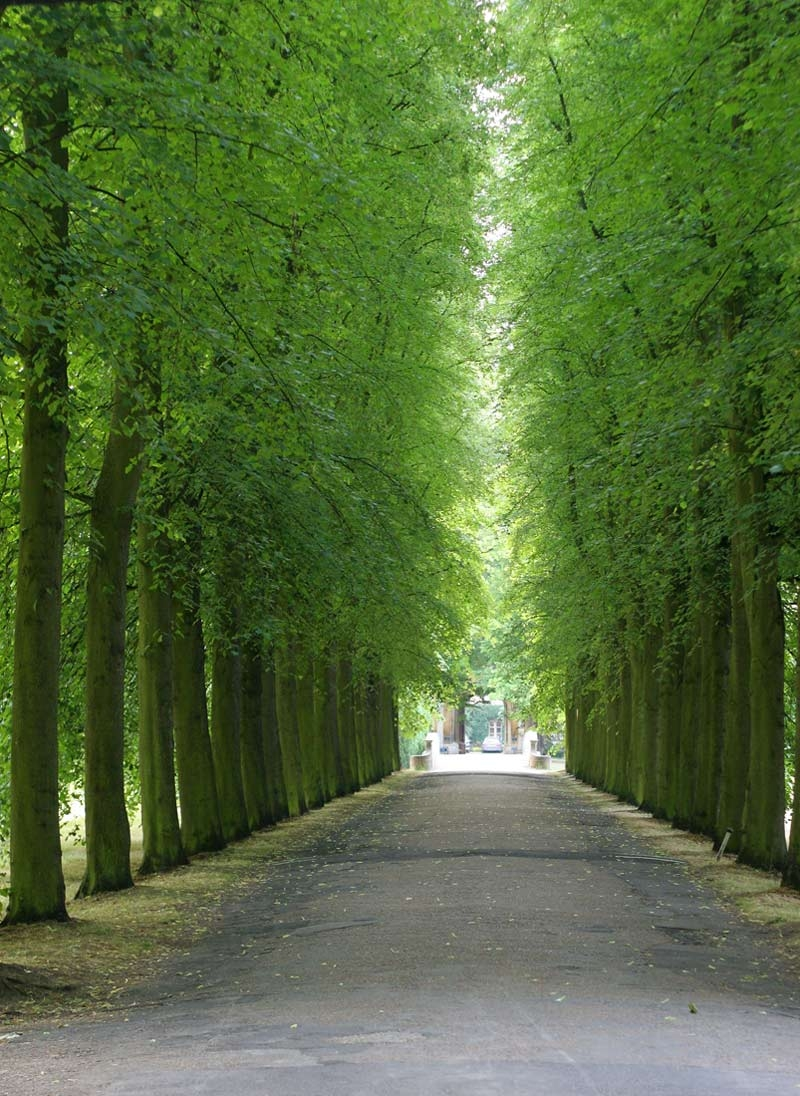 Tilia cordata avenue in summer