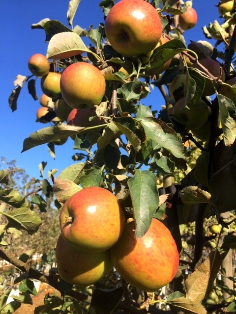 the juicy apples of Malus Jonagold