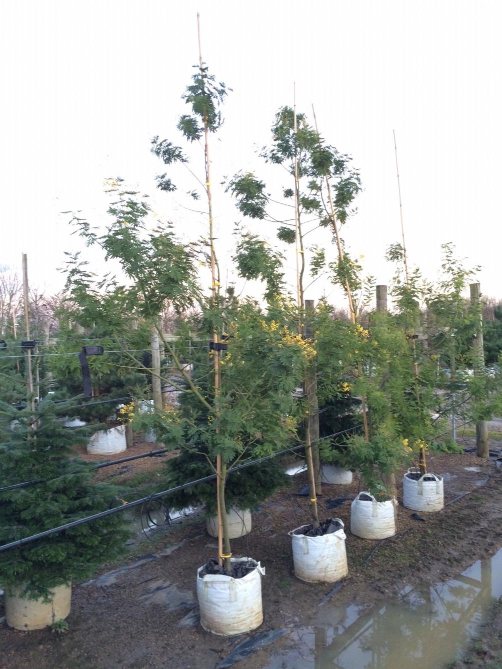 small Acacia dealbata at barcham trees