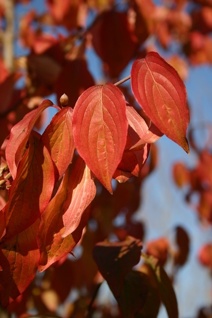 Cornus mas autumn foliage