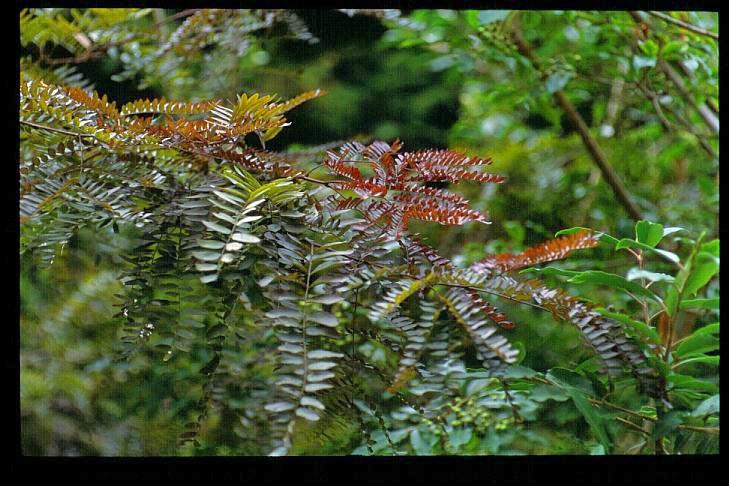 foliage of Gleditsia triacanthos Ruby Lace