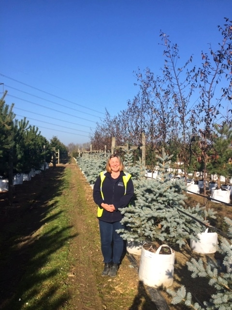 Picea pungens Blue Diamond at Barcham Trees