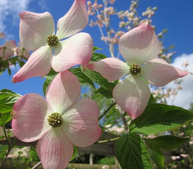 stunning pink flower of Cornus kousa Stella Pink