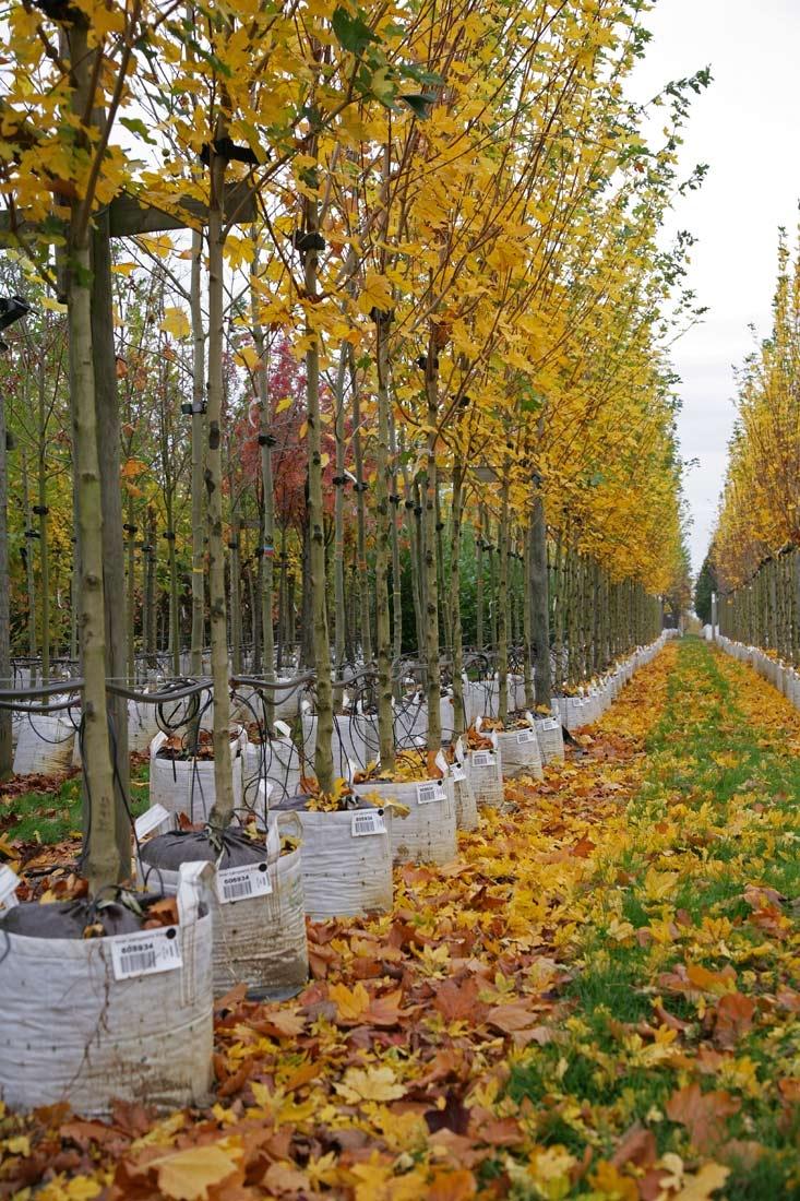 Acer campestre Elsrijk in autumn