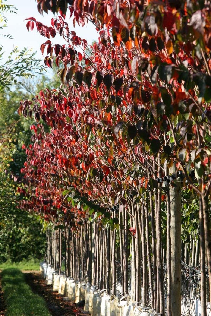 Prunus sargentii at barcham trees in autumn