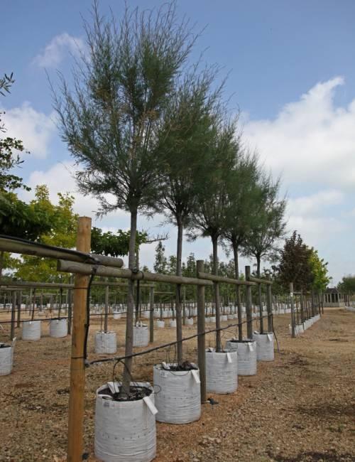 Tamarix gallica on the Barcham Trees nursery