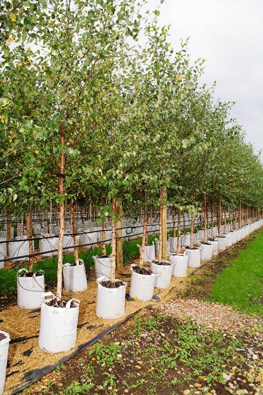 Betula nigra at barcham trees