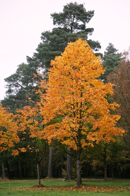 mature Acer plataniodes olmstead in autumn foliage