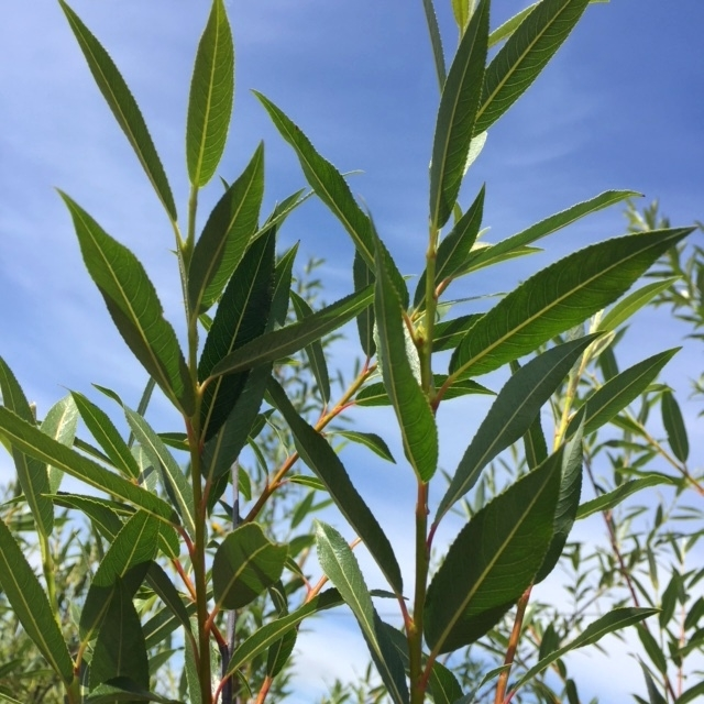 the glossy green foliage of Salix daphnoides multi-stem