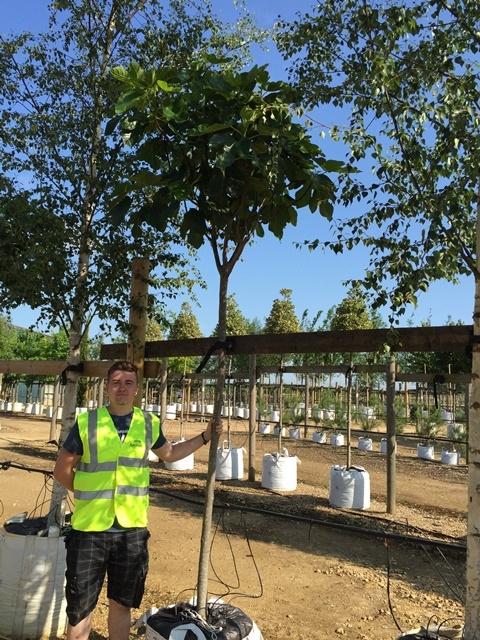 Ficus carica 'Verdino' at Barcham Trees