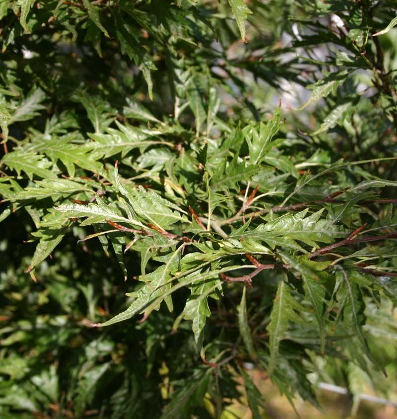 the cut leaf foliage of Fagus sylvatica Asplenifolia