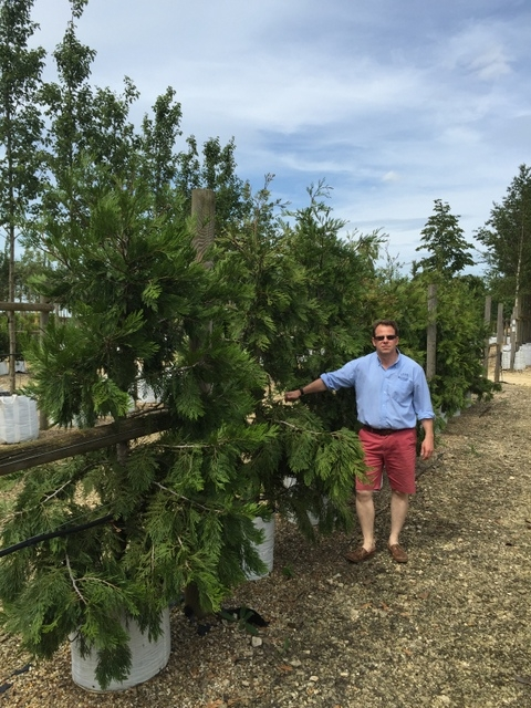 Calocedrus decurrens at Barcham Trees