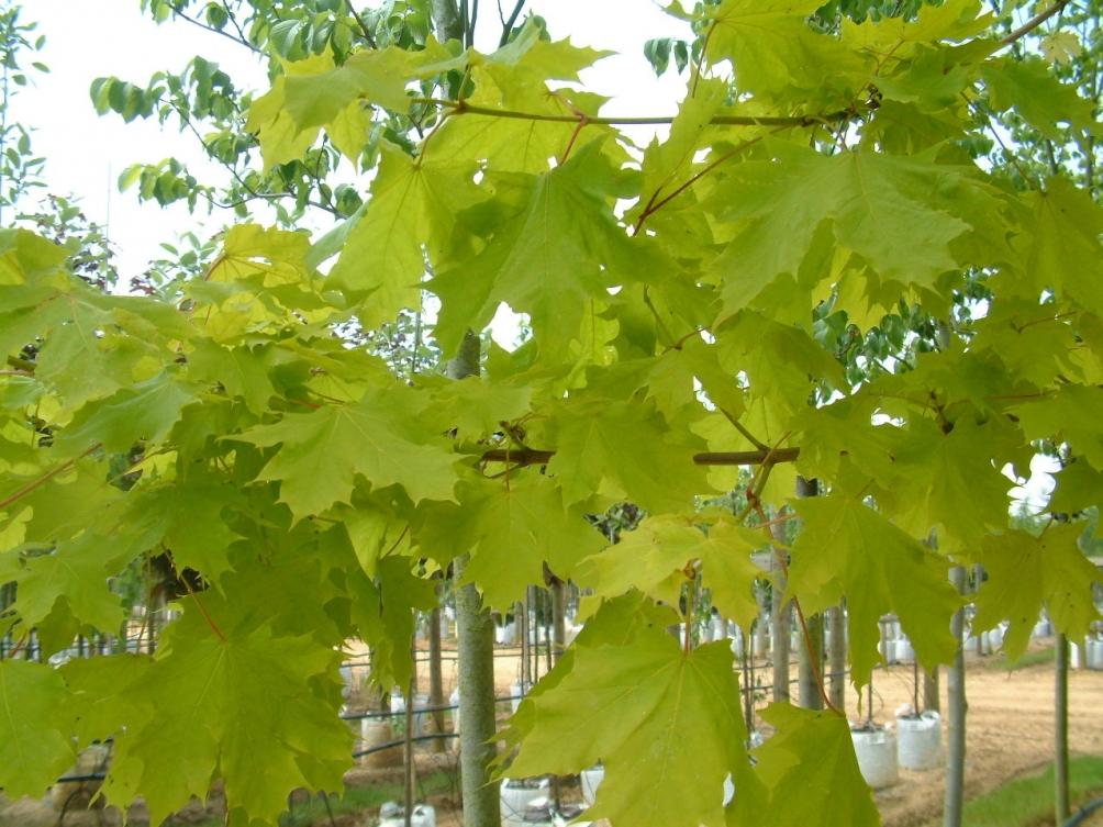 Golden foliage of Acer platanoides Princeton Gold