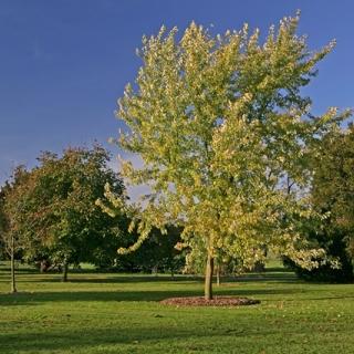 mature  Acer saccharinum