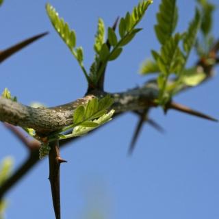 the thorns of Gleditsia triacanthos