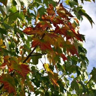 foliage of Acer rubrum Scanlon