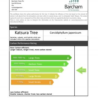Cercidiphyllum japonicum multi-stem