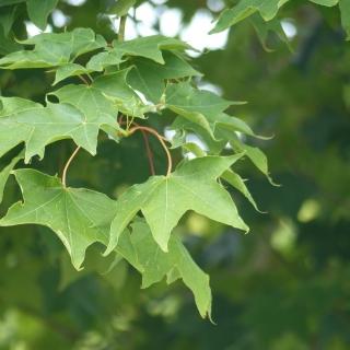 Leaves of the Acer cappadocicum Aureum
