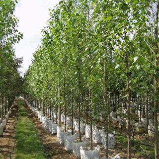 Populus nigra Italica at barcham trees