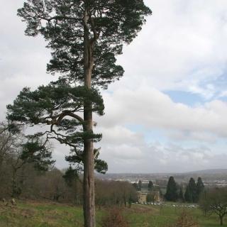 mature Pinus sylvestris