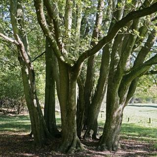 mature stems of Acer campestre multi-stem