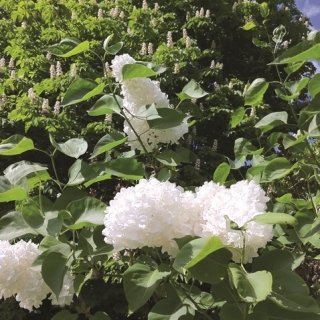 the pure white flowers of Syringa reticulata Ivory Silk