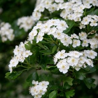 The white flower of Crataegus monogyna