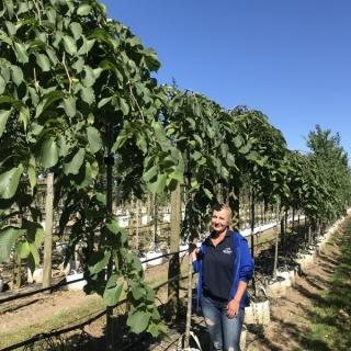 12/14cm girth Ulmus glabra Camperdownii on Barcham Trees nursery