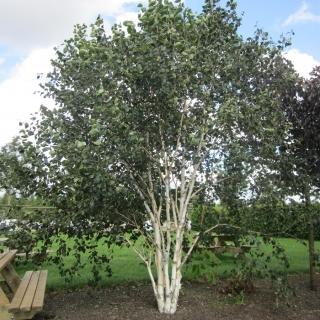 Betula utilis Jacquemontii multi-stem in barcham trees car park