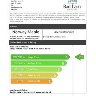 Acer platanoides Farlakes Green