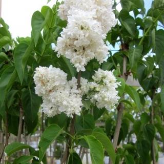 The crisp white flowers of Syringa vulgaris Madame Lemoine