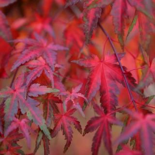 Acer palmatum autumn colour