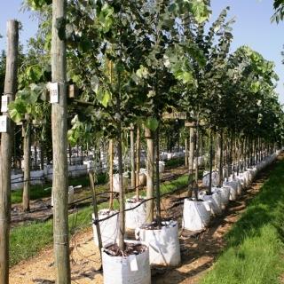 Tilia tomentosa at barcham trees