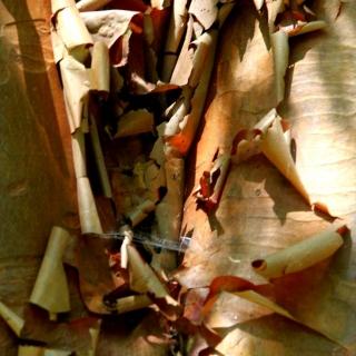 The peeling bark of Betula nigra Multi-stem