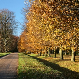 mature avenue of Carpinus betulus