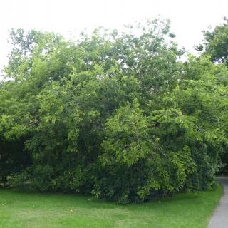 Mature Celtis occidentalisat Kew gardens