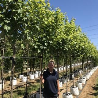 Acer rubrum Scanlon at barcham treees nursery