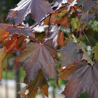 The red foliage of Acer platanoides Royal Red