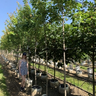 Acer rubrum Bowhall