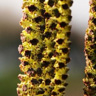 The catkin of Betula pendula