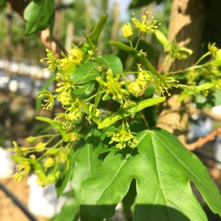the flowers of Acer campestre Streetwise