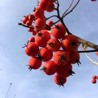 The large red berries of Crataegus succulenta Jubilee