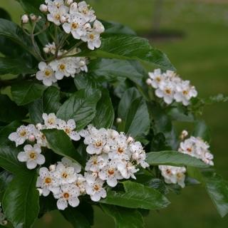 the white flower of  Crataegus x lavalleei
