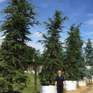 Cedrus libani at Barcham Trees