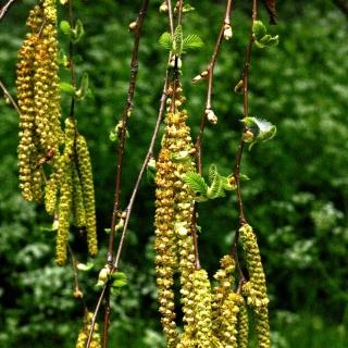 the beautiful catkins of Betula maximowicziana