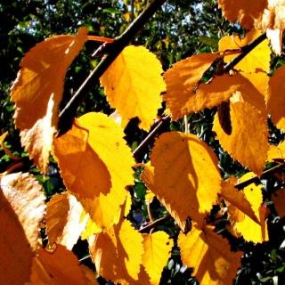 autumn colour of  Betula ermanii